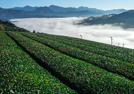Kamairi-cha Green tea
